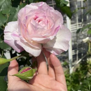 カメオ 奇跡のバラを思い返す花伝さんのブログ記事 ウィリアムモリス