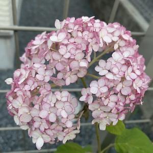 次女庭のアナベル ピコティシャルマン メサージュドゥヨコハマ 二番花 レースラベンダー