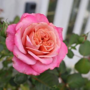 バラの二番花たち 梅雨時にあり気な水切れした草花 どうにか復活