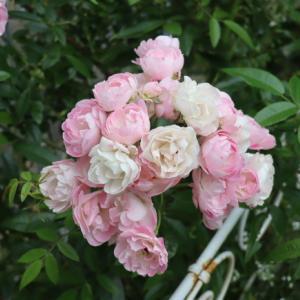 たまかずら 二番花 トレニア カタリーナ ピンクリバーを買いました
