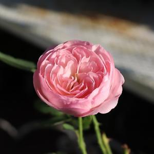 小うるさいのにすっごい可愛いバラ/ウォーキング