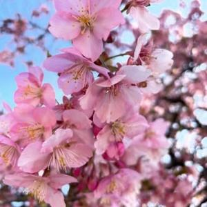河津桜の美しさ🌸