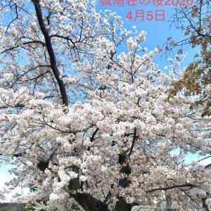 今日の城南荘の桜2020