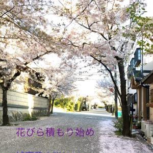 城南荘の桜 2020   花びら舞う