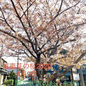 桜の開花状況  また来年