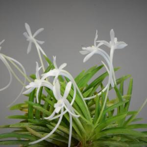 富貴蘭の花 鳳凰丸、四真宝