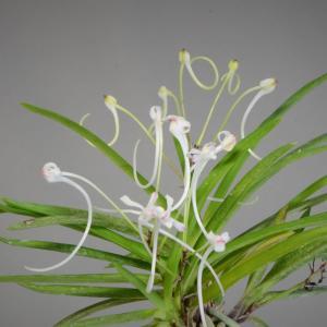 富貴蘭の花 蟷螂・黒潮