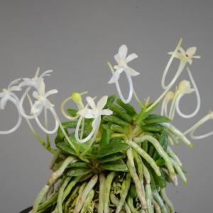 富貴蘭の花 黒千・黒真珠