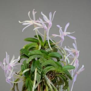 富貴蘭の花 青海