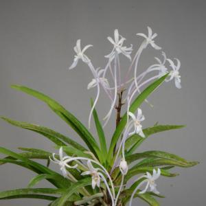 富貴蘭の花 巨鶺鴒