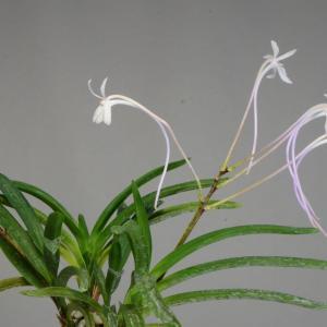 富貴蘭の花 吟風