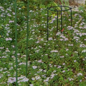 徳島から戻った翌朝、庭で野紺菊三昧         2019.11.04.(1)