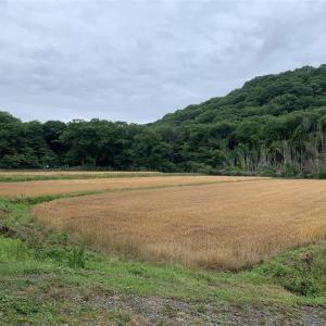 雨が降り出す前に・・・、湿原で一面の朱鷺草を観た。      2020.05.31.(1)