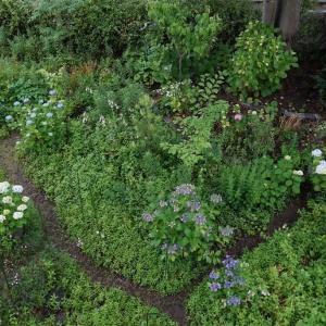 0612  今朝の庭 紫陽花はまだ咲き始め          2020.06.12.