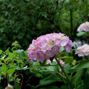 0613  雨の合間に 紫陽花たち          2020.06.13.(2)