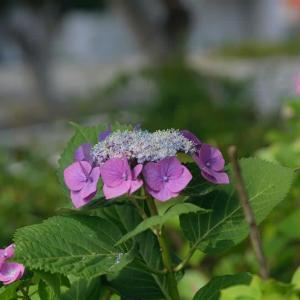 紫陽花  今度は真花の雄蕊に注目して 2     2020.06.20.(3)