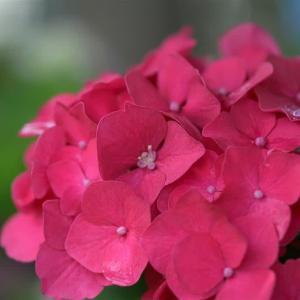 まだ紫陽花は咲いているよ     2020.06.28.(2)