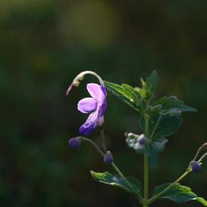秋の花がポツポツと。ホトトギスのつぼみもの育つ       2022.09.19.