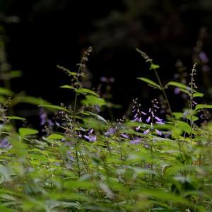 ハタケシメジを収穫した後、アキチョウジなど秋の花     2022.10.11.(5)