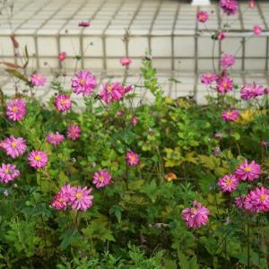 最期の秋明菊 原種       2022.10.22.