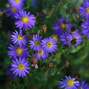 庭の秋のすすみぐあい 野紺菊がそろそろ     2022.10.24.(0)