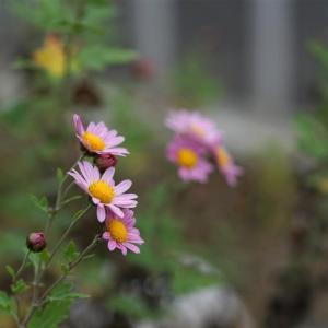 ようやくクニサキノギクが開花。開花して思うこと・・・・   2020.11.21.(2)