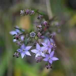 ムラサキセンブリが咲くという山を訪ねる       2020.11.22.(1)