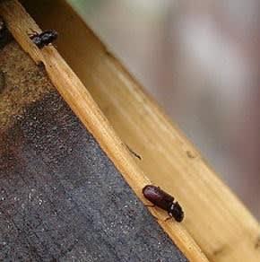 竹のシンクイ虫被害