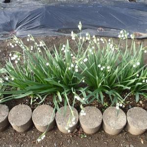 毎年同じ所に咲く地味で律儀な花 スノーフレーク