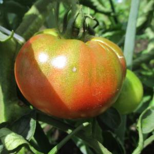 初なり大玉トマト収穫6月20日