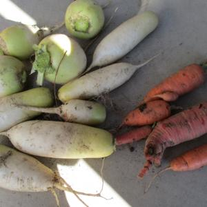 年度内最終採り野菜 野菜の保存