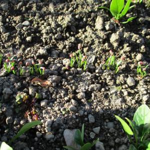 発芽がそろった追い蒔きホウレンソウ
