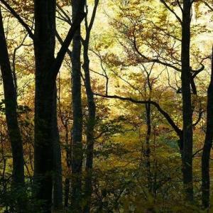 温身平 感動のブナ原生林