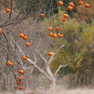 里山の崩壊と残り柿
