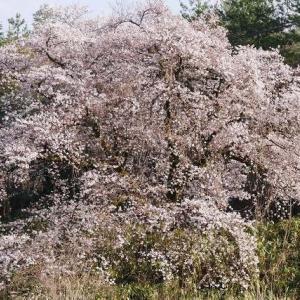 一本桜満開