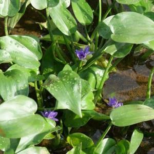 コナギ咲きました