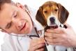 犬の8歳、老化現象は人間と同じです。