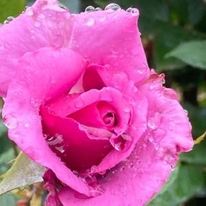 薔薇は雨の日こそお似合いだ