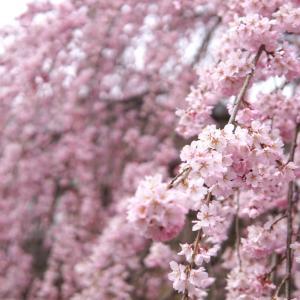 上田市の桜の開花情報