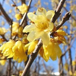 早春の花4