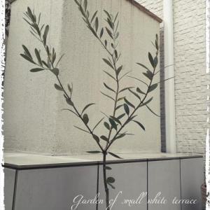 樹齢100年を目指す??我が家の鉢植えオリーブ&球根の目覚め(*^O^*)