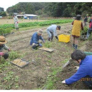 落花生掘りと夏野菜の後片付け