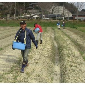 畑の肥料撒きとマルチ張り