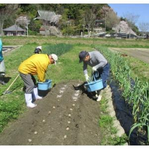 ヒマワリ種まきと里芋植え