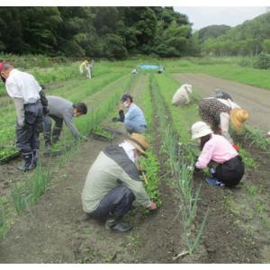 ネギの雑草取りと土寄せ