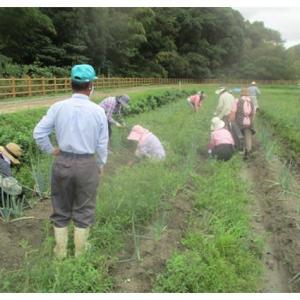 ネギ畑の草取り作業
