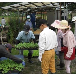 白菜とキャベツ、ブロッコリーの苗植え