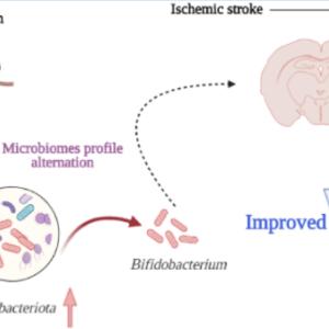 カロリー制限の脳梗塞リハビリ長期効果