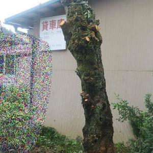 桜の木を切る