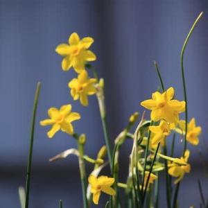 庭の花水仙他